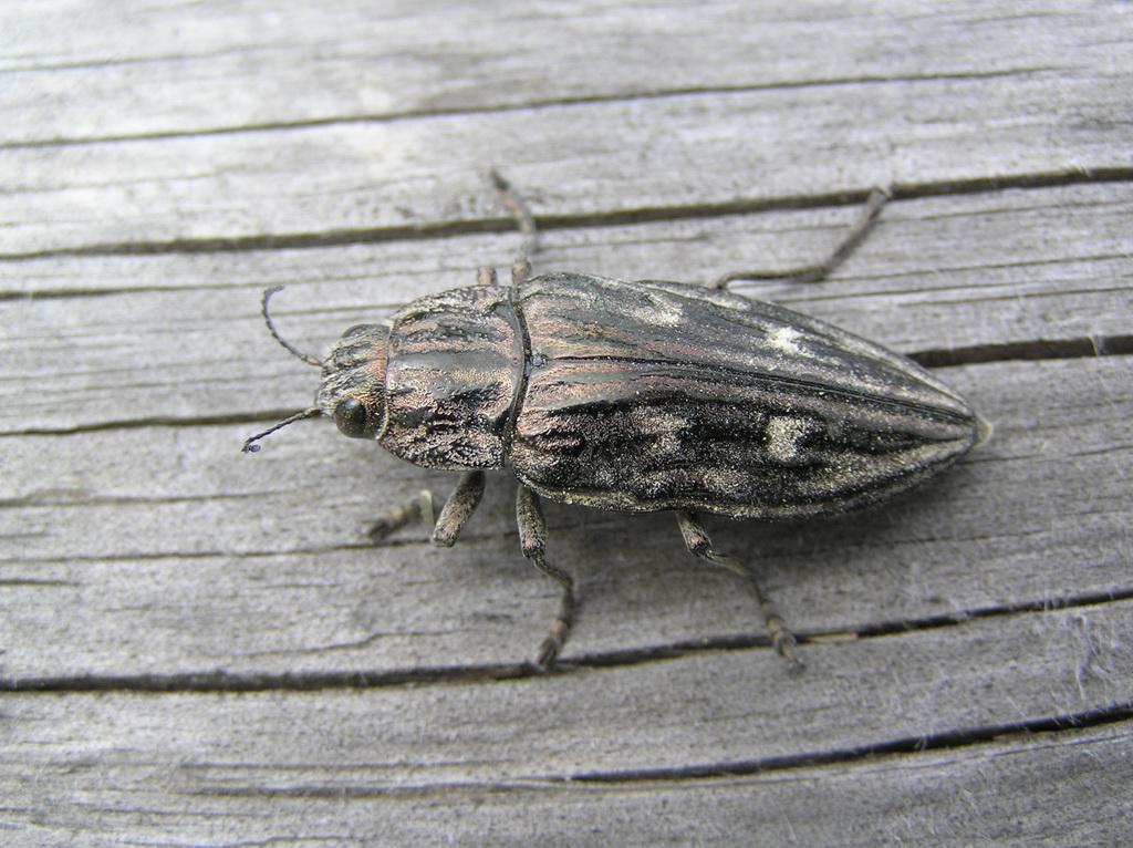 это заболевание жук семечка фото скорую медицинскую помощь
